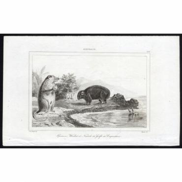 Opossum, Wombat et Nautile (...) - 266, Australie - Rienzi (1836)