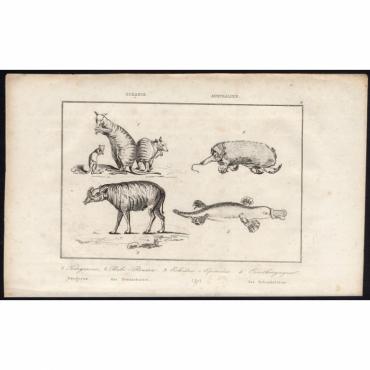 Pl.3 Kangarous, Babi-Roussa, Echidne-Epineux, Ornithorynque - Rienzi (1836)