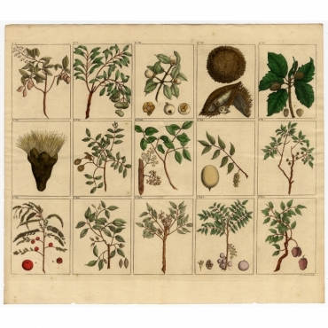 Untitled Print of fruit and trees from Southeast Asia - Valentijn (1726)