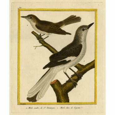 Pl.558 Merle cendre, de St. Domingue. Merle olive, de Cayenne - Martinet (1770)