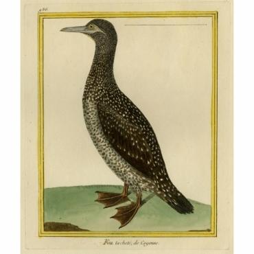 Pl.986 Fou tachete, de Cayenne - Martinet (1770)