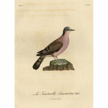 Pl.271 La Tourterelle Emeraudine, male - Langlois (1801)