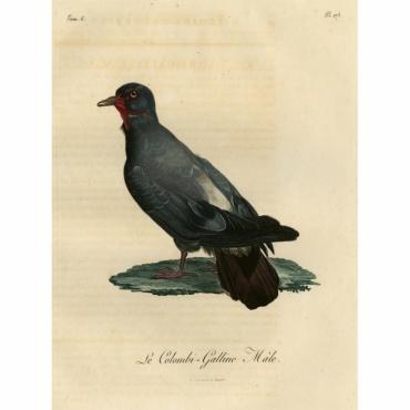 Pl.278 Le Colombi-Galline, Male - Langlois (1800)