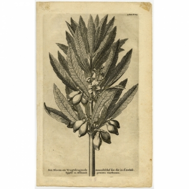 Een Bloem- en Vruchtdragende Amandel-Staf (..) - Goeree (1729)