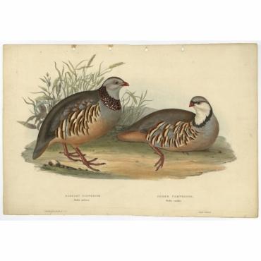 Barbary Partridge - Perdix petrosa - Gould (1832)