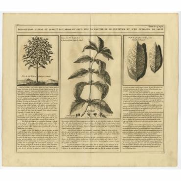 Description, figure et qualite de l'arbre du cafe avec la maniere (..) - Chatelain (1750)