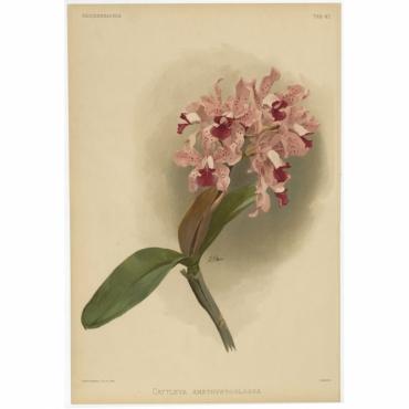 Reichenbachia - Tab 47 - Cattleya amethystoglossa - Mansell (1888)