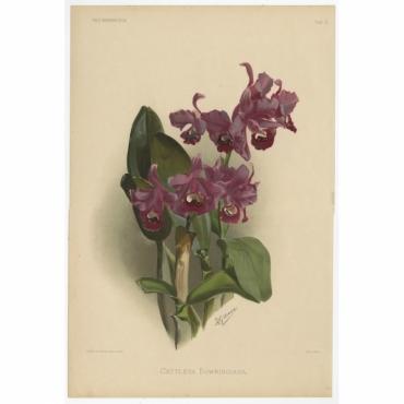 Reichenbachia - Tab 2 - Cattleya Bowringiana - Leutzsch (1888)