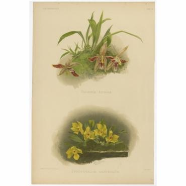 Reichenbachia - Tab 11 - Paphinia rugosa - Leutzsch (1888)