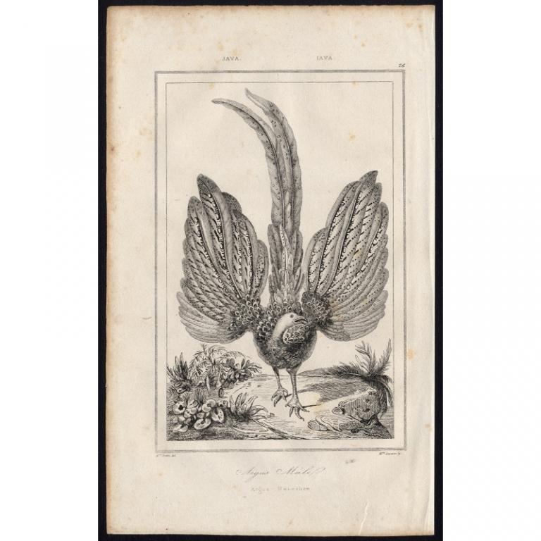 Pl.26 Argus Male Java - Rienzi (1836)