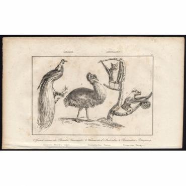 Pl.4 Grand oiseau de Paradis Emeraude, Kasoar de l'Australie (..) - Rienzi (1836)