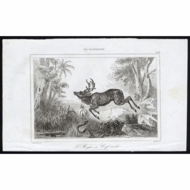 Pl.288 Le Roussa ou Cerf Malai, Ile Kalemantan - Rienzi (1836)