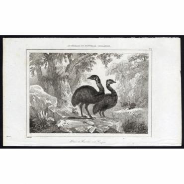 Pl.254 Emus ou Casoars sans Casque, Australie - Rienzi (1836)