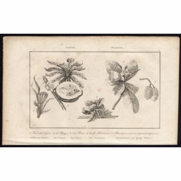 Pl.2 Fruit du Vaquois, du Papaya, du Rima (..) - Rienzi (1836)