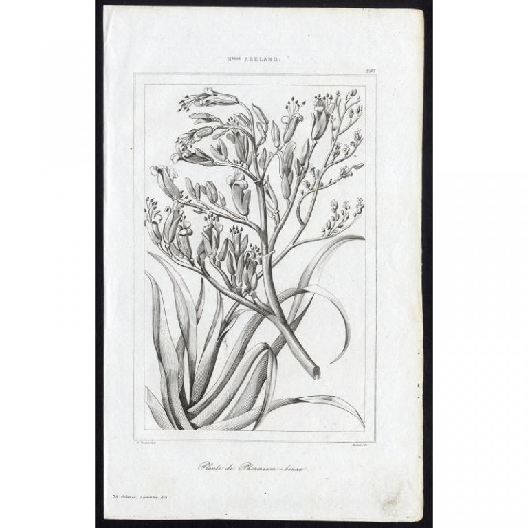 Plante de Phormium-tenax - 297, N.elle Zeeland - Rienzi (1836)