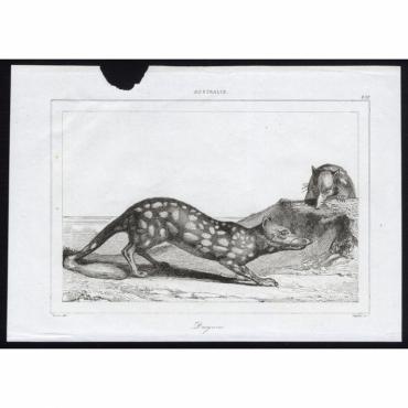 Dasyures - 278, Australie - Rienzi (1836)
