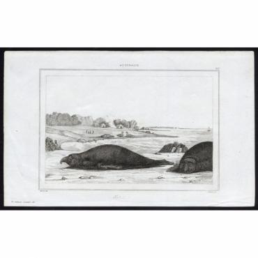 Elephants marins - 277, Australie - Rienzi (1836)
