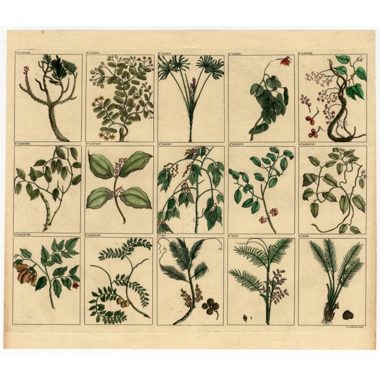 Untitled Print of various species of palms, fruit and trees from Southeast Asia - Valentijn (1726)