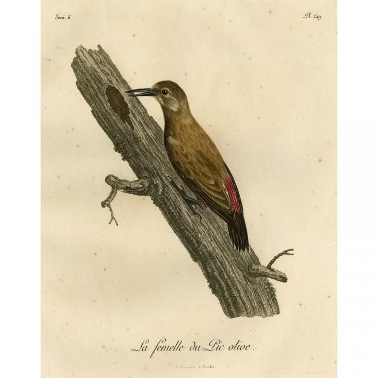 Pl.249 La femelle du Pic olive - Langlois (1799)
