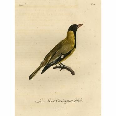 Le Loriot Coudougnan Male - Langlois (1802)