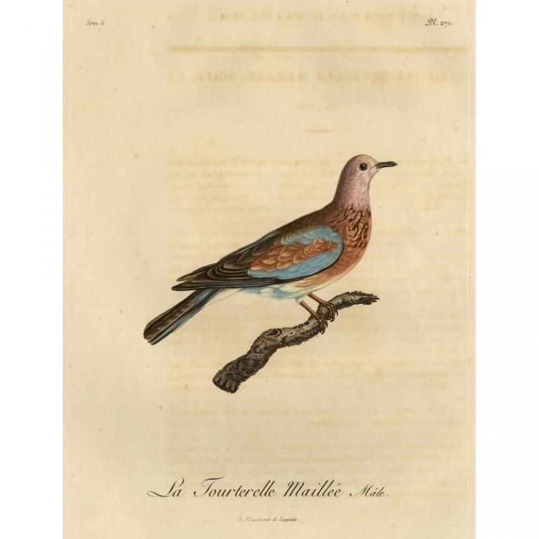 Pl.270 La Tourterelle Maillee, male - Langlois (1803)
