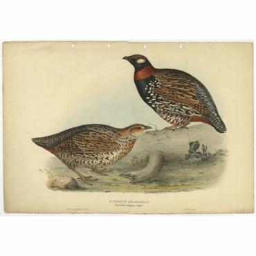 European Francolin - Francolinus vulgaris - Gould (1832)