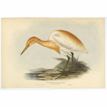 Rufous Backed Egret - Ardea russata - Gould (1832)
