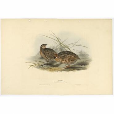 Quail - Coturnix dactylisonans - Gould (1832)