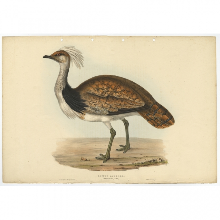 Ruffed Bustard - Otis houbara - Gould (1832)