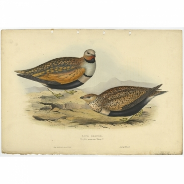 Sand Grouse - Pterocles arenarius - Gould (1832)