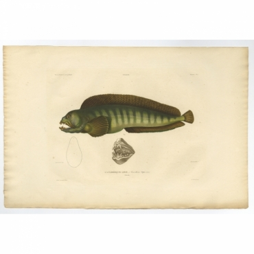 Pl.4 Poissons - L'Anarrhique Loup (Anarrhicus lupus) - Gaimard (1842)