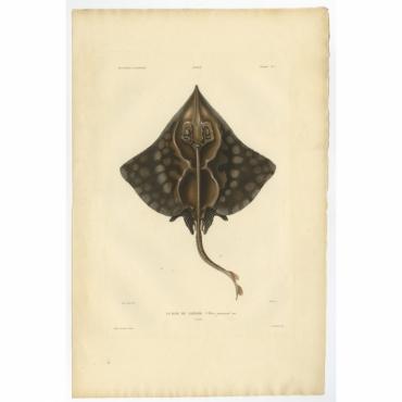 Pl.2 Poissons - La Raie de Gaimard (Raia gaimardi) - Gaimard (1842)