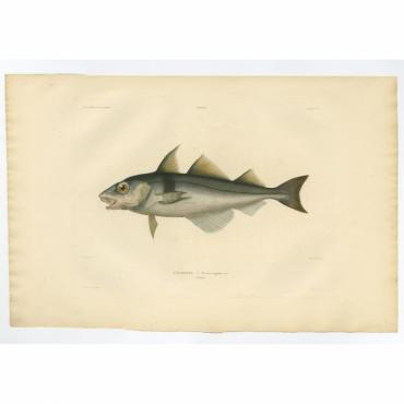 Pl.7 Poissons - L'Egrefin (Merrhua aeglefinus) - Gaimard (1842)