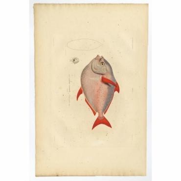 Pl.10 Poissons - Le Lampris Tachete (Lampris guttatus) - Gaimard (1842)
