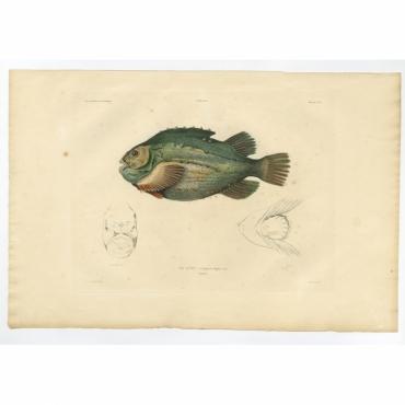 Pl.8 Poissons - Le Lump (Cyclopterus lumpus) - Gaimard (1842)