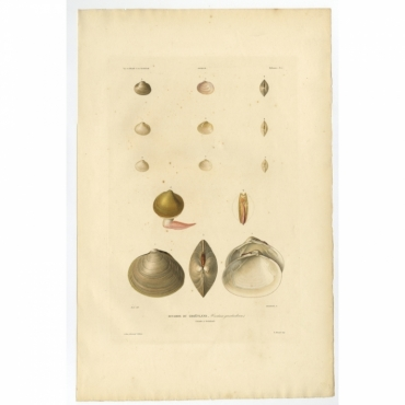 Pl.15 Mollusques - Bucarde du Groenland (Cardium Groenlandicum) - Gaimard (1842)