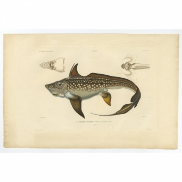 Pl.20 Poissons - La Chimere Arctique (Chimaera monstrosa) - Gaimard (1842)