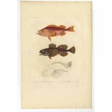 Pl.9 Poissons - La Sebaste du Nord (Sebastes septentrionalis) - Gaimard (1842)