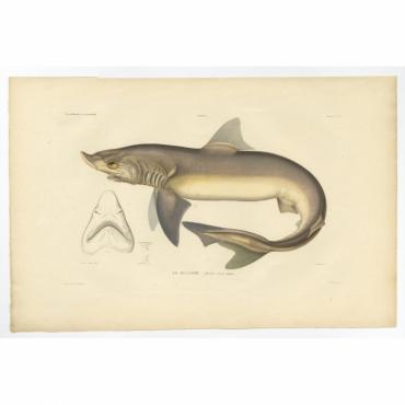 Pl.21 Poissons - Le Milandre (Galeus canis) - Gaimard (1842)