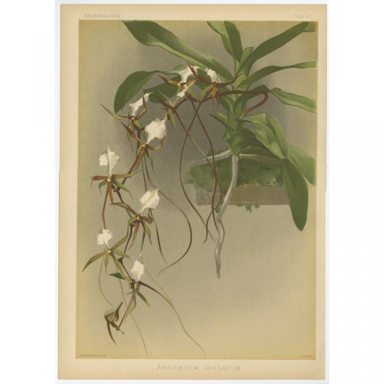 Reichenbachia - Tab 67 - Angraecum caudatum - Mansell (1888)