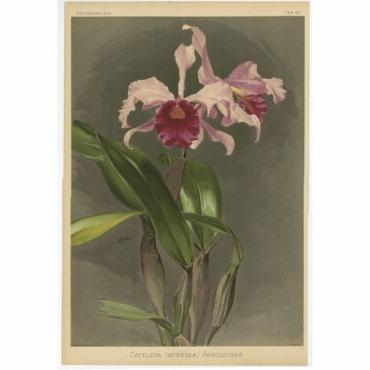 Reichenbachia - Tab 48 - Cattleya Hybrida Arnoldiana - Mansell (1888)