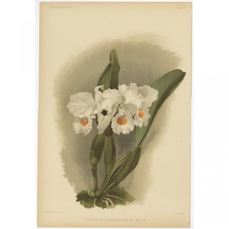 Reichenbachia - Tab 17 - Cattleya Schroederoe alba - Mansell (1888)