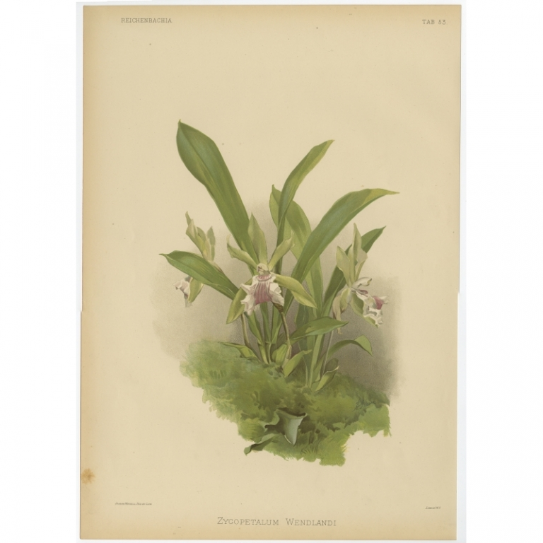 Reichenbachia - Tab 53 - Zygopetalum Wendlandi- Mansell (1888)