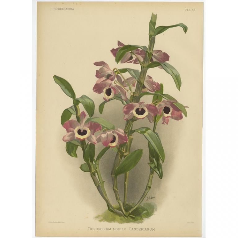Reichenbachia - Tab 58 - Dendrobium nobile Sanderianum - Mansell (1888)