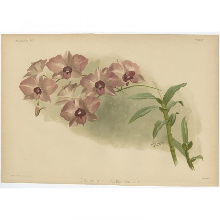 Reichenbachia - Tab 42 - Dendrobium phalaenopsis var. - Leutzsch (1888)