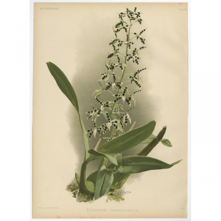 Reichenbachia - Tab 76 - Epidendrum prismatocarpum - Leutzsch (1888)