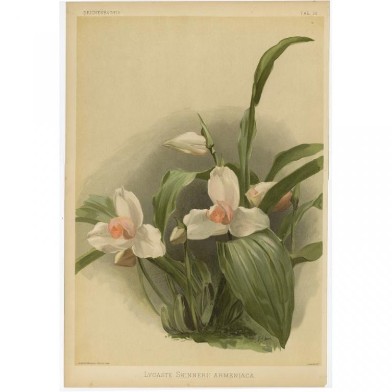 Reichenbachia - Tab 18 - Lycaste Skinnerii Armeniaca - Mansell (1888)