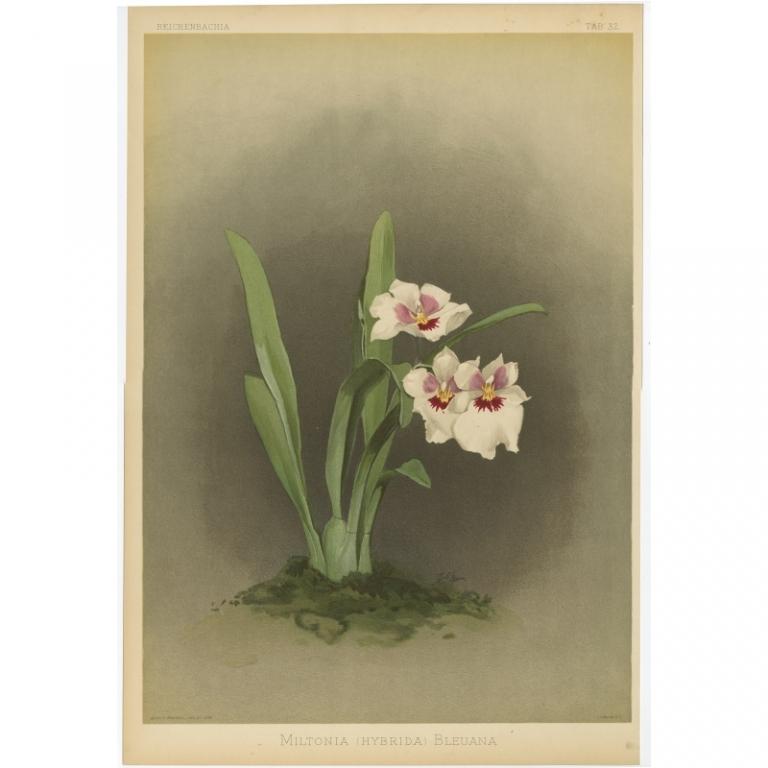 Reichenbachia - Tab 32 - Miltonia Hybrida Bleuana - Mansell (1888)
