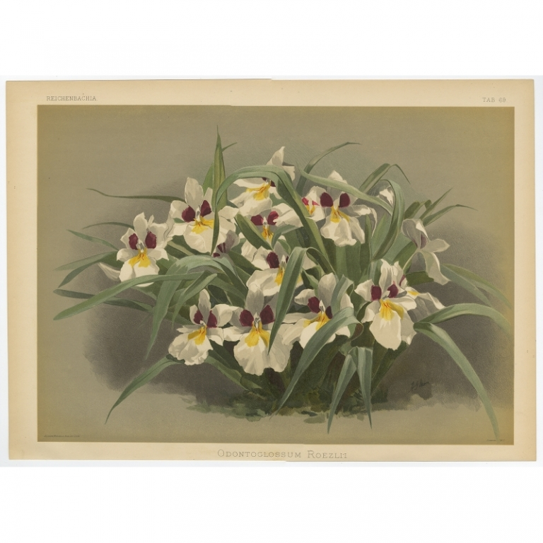 Reichenbachia - Tab 69 - Odontoglossum Roezlii - Mansell (1888)
