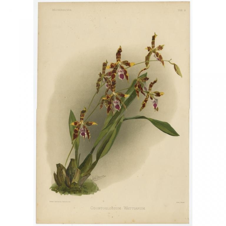 Reichenbachia - Tab 9 - Odontoglossum Wattianum - Leutzsch (1888)